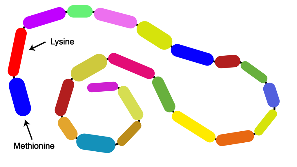 Alternative long protein chain showing methionine and lysine