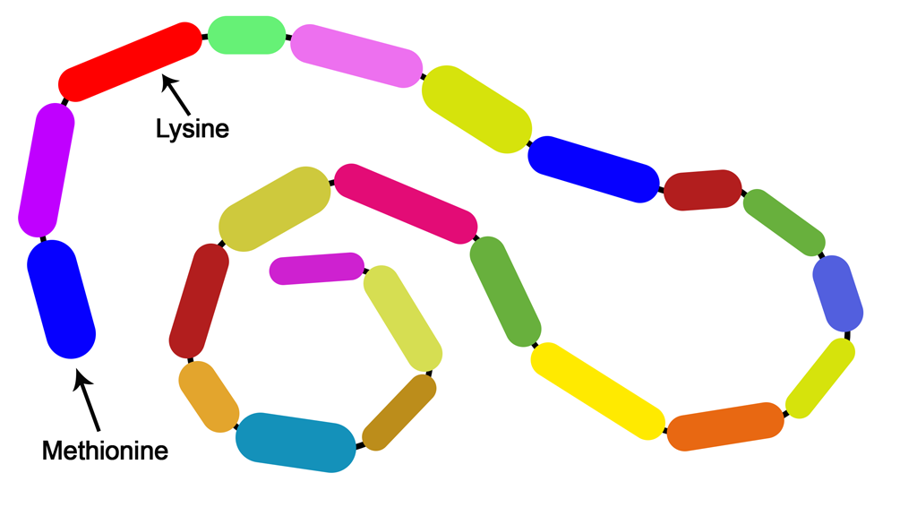 Long protein chain showing methionine and lysine