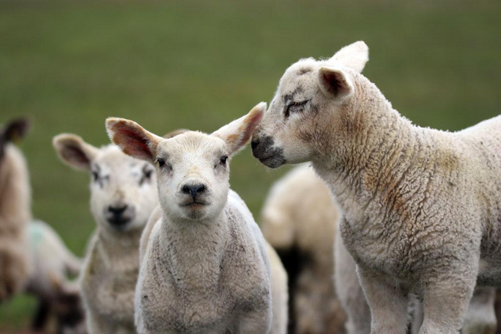 Cross-bred lambs