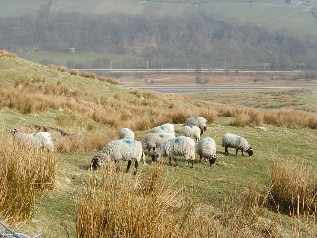 Flock of Swaledale sheep on winter pasture