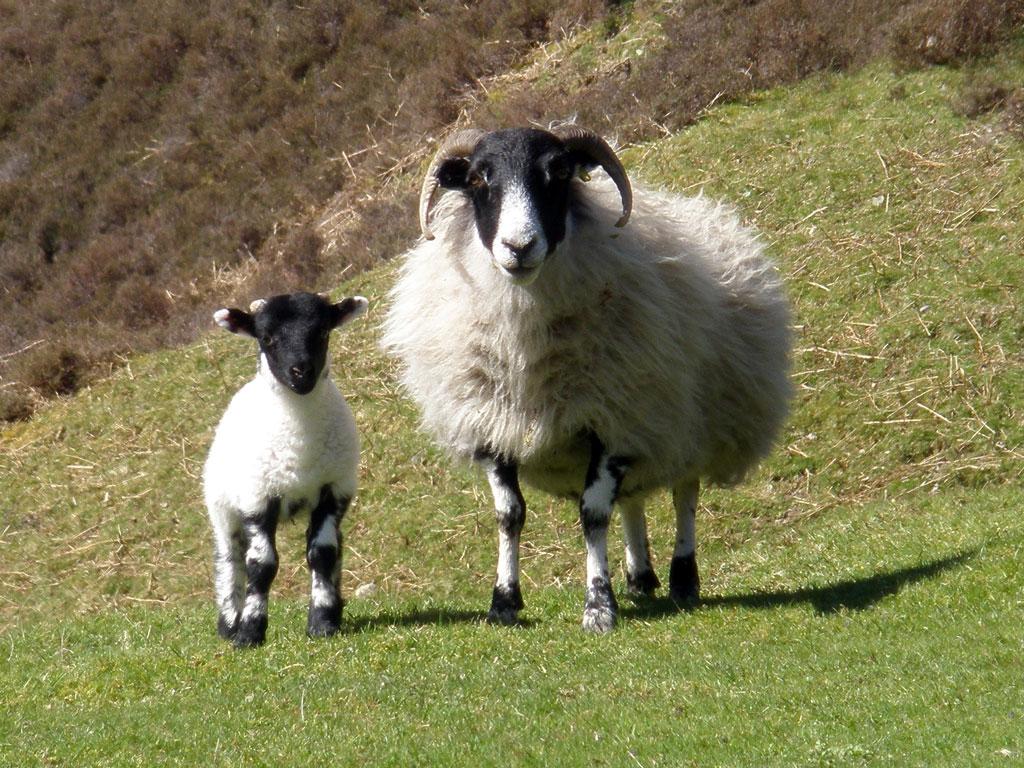 Swaledale Ewe with lamb