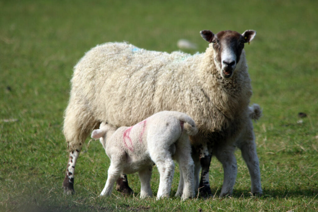 Ewe with suckling lambs